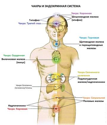 Соответствие расположения чакр человека и желез эндокринной системы