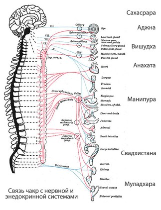 Чакры: расположение на теле и соответствие «курируемым» органам